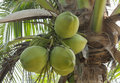 Green coconut tree Stock Photo