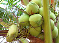 Green coconut at tree a fresh Stock Photo