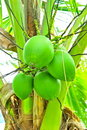 Green coconuts Royalty Free Stock Image