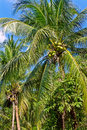 Green coconuts on the palm tree Royalty Free Stock Photography