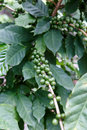 Green coffe beans growing in the plant Royalty Free Stock Photo