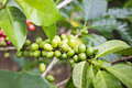 Green coffee berries Stock Image