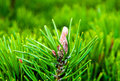 Green conifer a closeup picture o a well grown Stock Photos