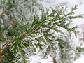 Green coniferous tree pine branch sprinkled with snow and frozen with hoarfrost on winter background concept for christmas or new Royalty Free Stock Images