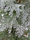 Green coniferous tree pine branch sprinkled with snow and frozen with hoarfrost on winter background concept for christmas or new Stock Photography