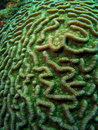 Green Coral Stock Photography