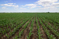 Green corn field,blue sky and sun on summer day Royalty Free Stock Photo