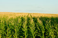 Green corn field - fresh and clean Royalty Free Stock Photo