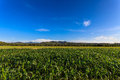 Green corn field landscape shot of a with background of cloudy sky Royalty Free Stock Photography