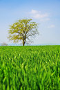 Green corn field and lonely tree Stock Photos