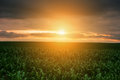 Green corn field on sunset background outdoor shots Royalty Free Stock Photo