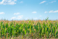 Green corn growing in a field on a sunny  day Royalty Free Stock Photo