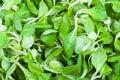Green corn salad mache, feld salat, etc close-up Royalty Free Stock Photo