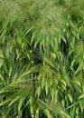 Green Corn In Spring, Fields In The Sun.