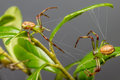 The Green Crab Spider (Diaea D...