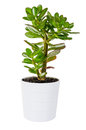 Green crassula or money tree in white flower pot isolated plant a on background Royalty Free Stock Photos