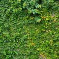 The green creeper plant on wood background Stock Photography