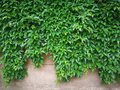 green creepers wall