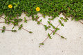 Green creeping plant with yellow flower on concrete background top Stock Photography