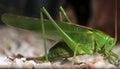 Green cricket grasshopper great bush tettigonia viridissima Royalty Free Stock Image