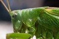 Green cricket grasshopper great bush tettigonia viridissima Royalty Free Stock Photography