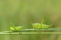 Green cricket two crickets on grass stem Royalty Free Stock Photo