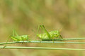 Green crickets one big and one small on grass stem Royalty Free Stock Photography