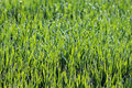Green crop field with dewdrops