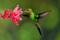 Green Crowned Brilliant Royalty Free Stock Photo