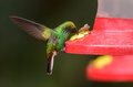 Green-crowned Brilliant (Heliodoxa jacula) Stock Images