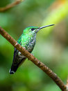 The green crowned brilliant heliodoxa jacula hummingbird in co costa rica sticking out his tongue Royalty Free Stock Image