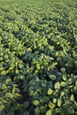 Green cultivated soy field Royalty Free Stock Images
