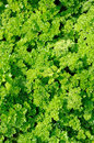 Green Curly Parsley Stock Photos