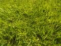 Green cut grass in spring.