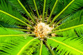 Green Cycad Royalty Free Stock Images