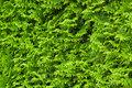Green cypress hedge Stock Image