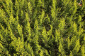 Green cypress leaves background Stock Photography