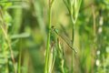 Green damselfly a on a blade of grass Royalty Free Stock Image