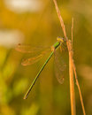 Green damselfly on corn by sunset light Stock Photo