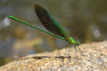 Green damselfly perched on rock a metallic common name oriental greenwing metalwing scientific name neurobasis chinensis Stock Photo