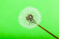 Green dandelion macro shot of a fragile and fluffy intact Royalty Free Stock Images