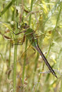 Green darner dragonfly hiding in vegetation anax junius at edge of river grand bend ontario Royalty Free Stock Image