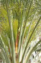 Green date buds in date palm tree Royalty Free Stock Photos