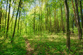 Green Deciduous Forest Summer Nature. Sunny Trees And Green Gras Royalty Free Stock Photo