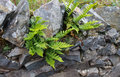 Green deer fern blechnum spicant growing out of wall or hard from stones in a dry stone Royalty Free Stock Images