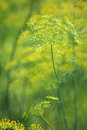 Green dill close-up photo Royalty Free Stock Photography