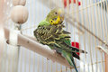 Green domestic budgie cleans feathers Stock Photography