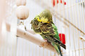 A green domestic budgie preens its feathers Stock Photos