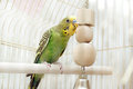 Green domestic budgie a sitting with his toy friend Stock Images