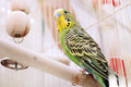 A green domestic budgie sitting with his toy friend Stock Image